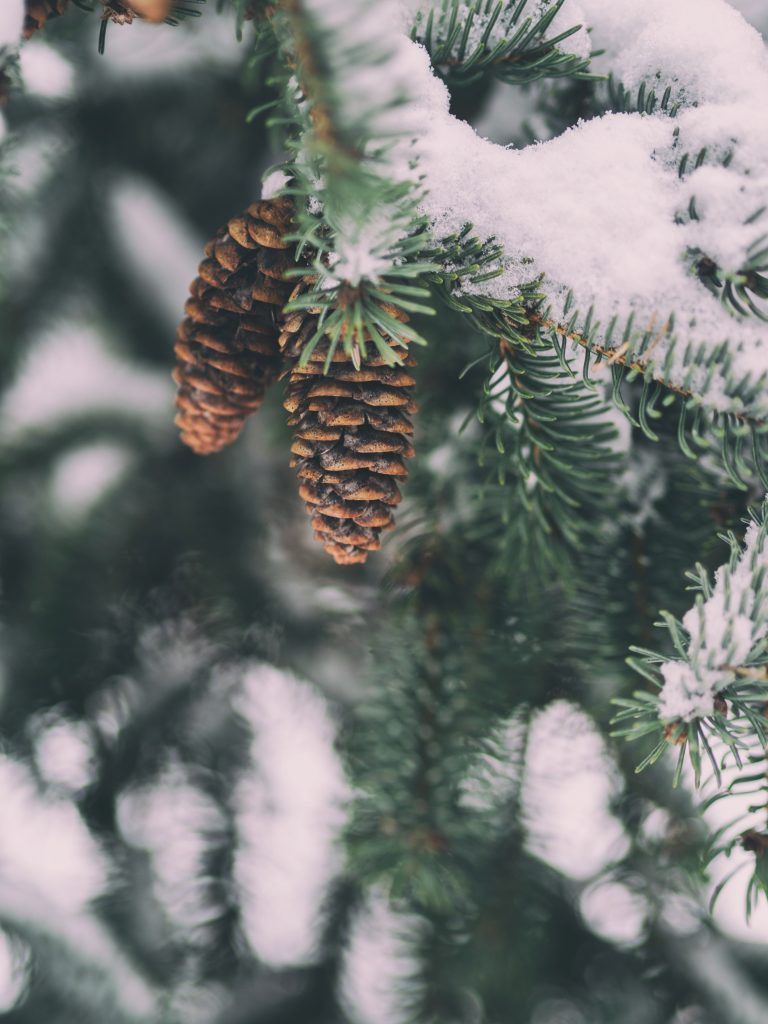 Image of a fir tree with two pinecones covered in snow.